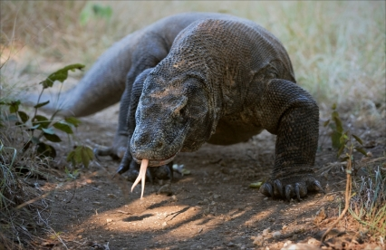 komodo-dragon.jpg