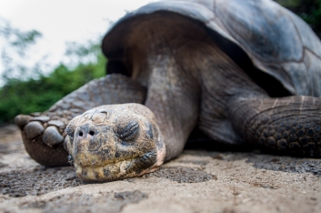 Lonesome George, the last giant Galapagos turtle (died June 2012).