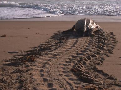 leatherback-nesting