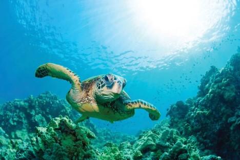 greenseaturtle_reef_hawaii_istock
