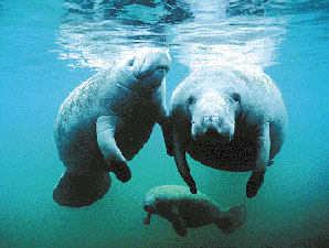 manatee-dominican-republic-01